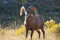 Photo of a ram standing out in the grass and sagebrush.