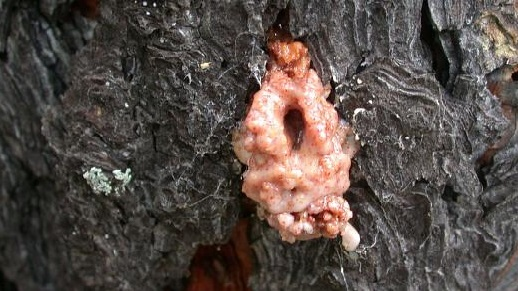 A photograph of pinkish colored sap exuding form a beetle exit hole