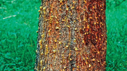Photograph of a tree trunk covered with yellowish pitch tubes