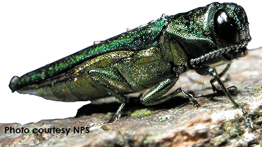 closeup of an ash borer