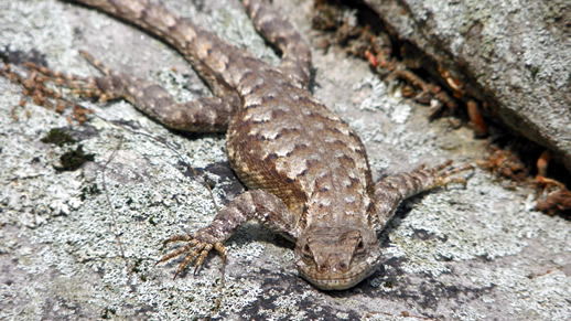 North Fence Lizard