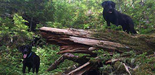 Two black labs enjoying their hiking adventure with their best friend.