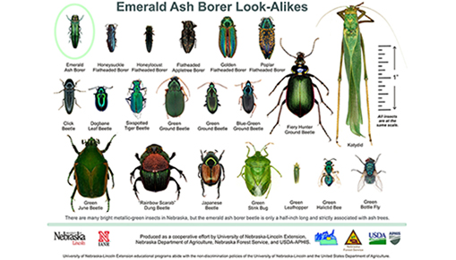 poster of ash borer look alikes