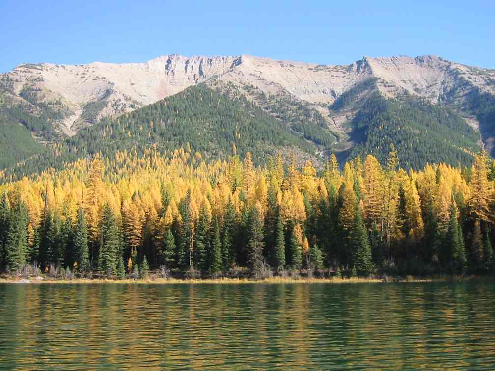 A stand of larch trees in the fall between a lake and mountains.
