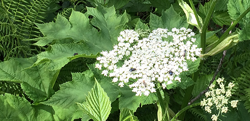 Cow Parsnip adjacent to an active trail system.