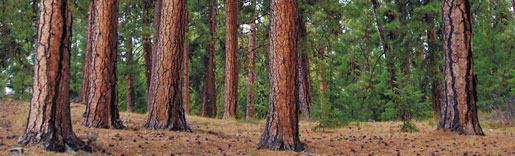 Ponderosa trees in forest
