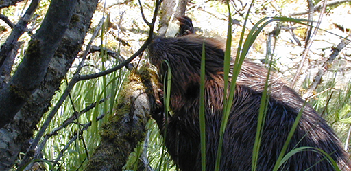 Beaver chewing on a tree.
