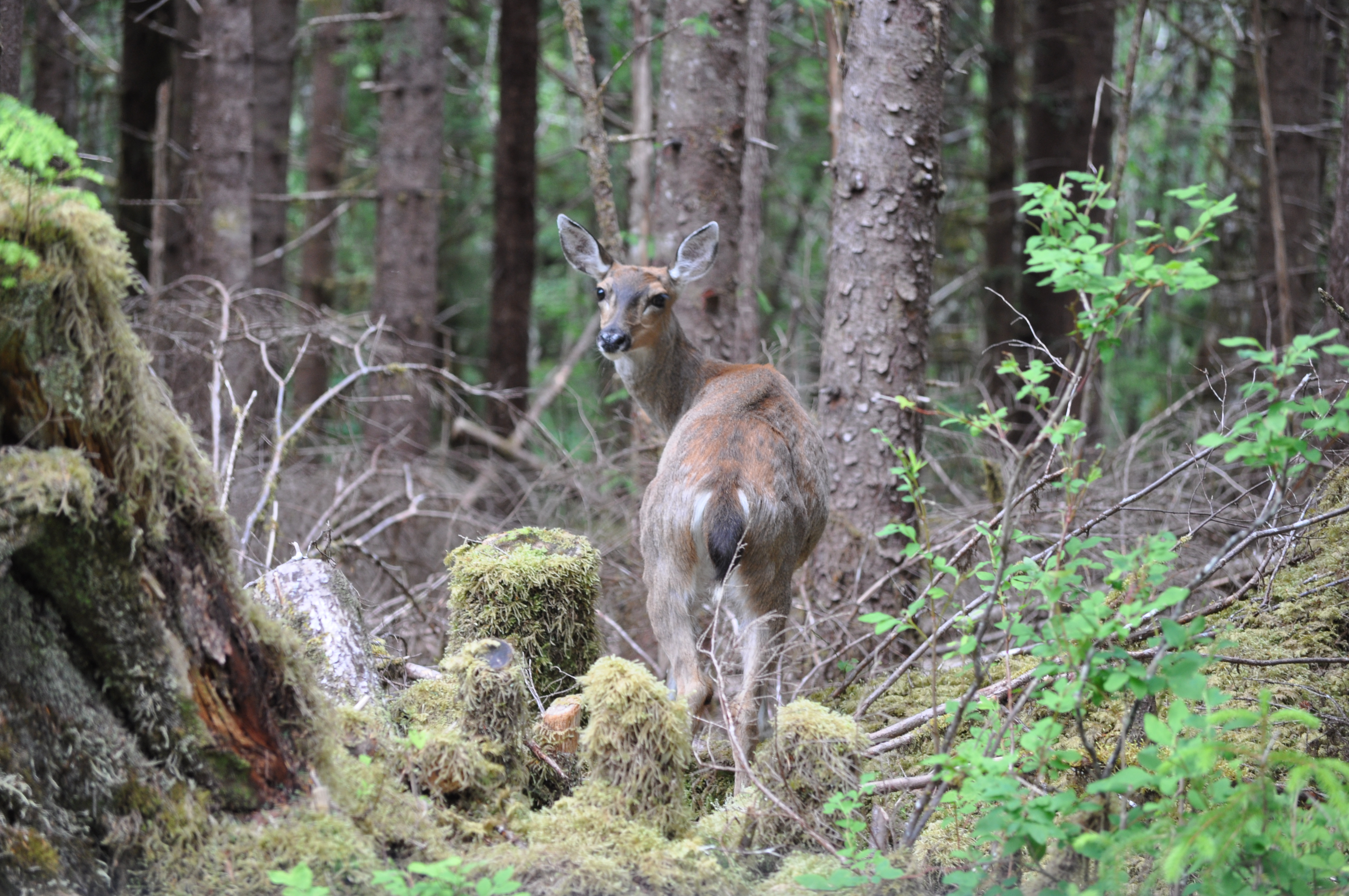 Sitka Blacked Tailed Deer by Susan Howle