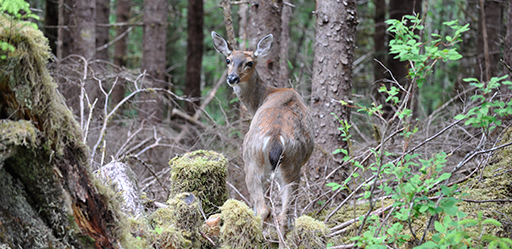 Sitka Black Tail Deer on Prince of Wales Island.