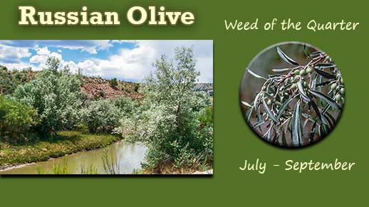 Click photo for more information on the Invasive Weed of the Quarter: Russian Olive.