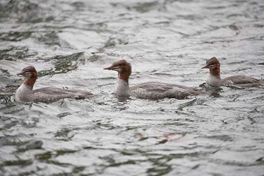 Mergansers float along the Russian River