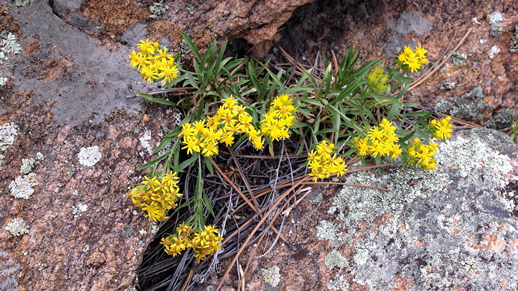 Small-headed Goldenweed