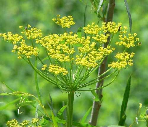 Flowering Yellow umbel of Wild Parsnip