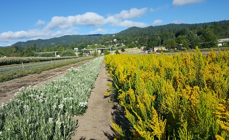 Flowers from Olympic NF seeds, blooming at Forest Service nursery in Medford