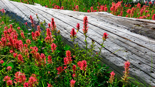 Wildflowers in Alpine Lakes Wilderness
