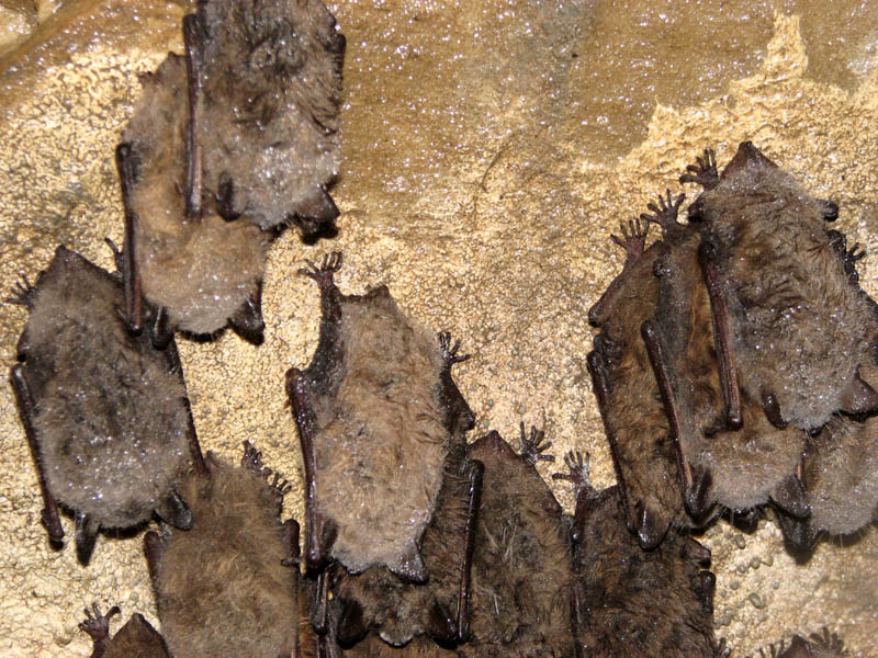 bats hanging upside down in cave