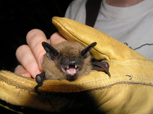 Brown Bat - large