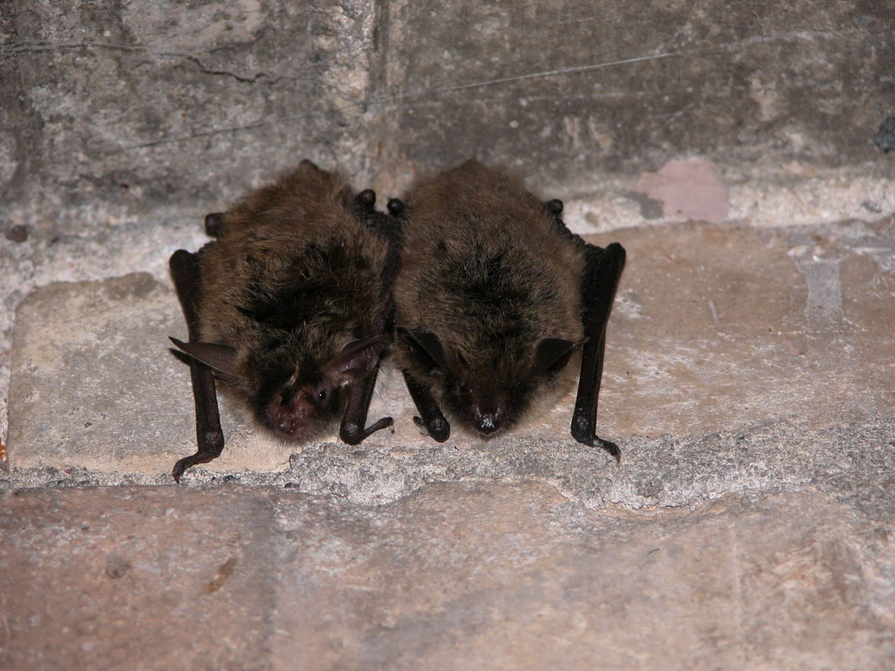 Bats with whitenose syndrome