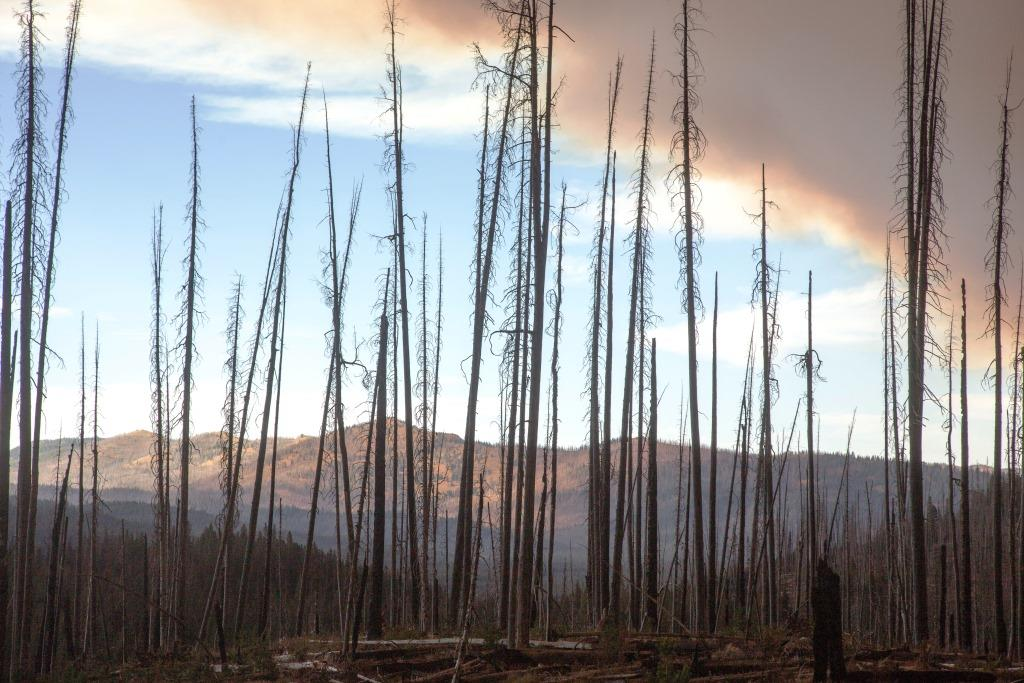 Photo of burned trees from the Pioneer Fire