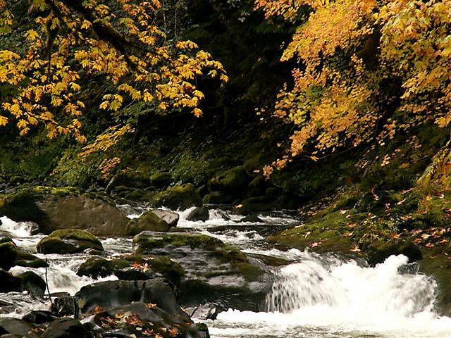 Fall color in maple trees along a creek in the forest