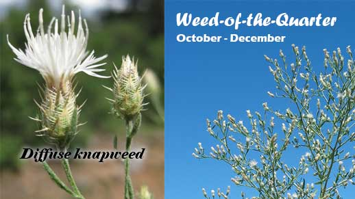 The Invasive Weed of the Quarter for October through December is Diffuse knapweed.