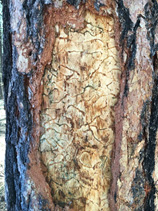 Photograph of feeding galleries of western pine beetle beneath the bark of a ponderosa pine tree.