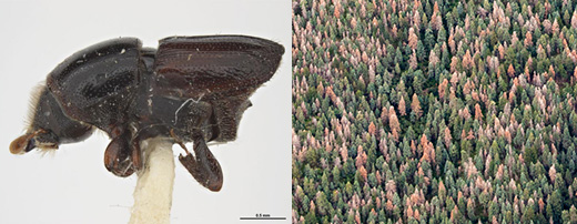 Collage of two photographs showing the fir engraver beetle and white fir mortality on the Sandia RD