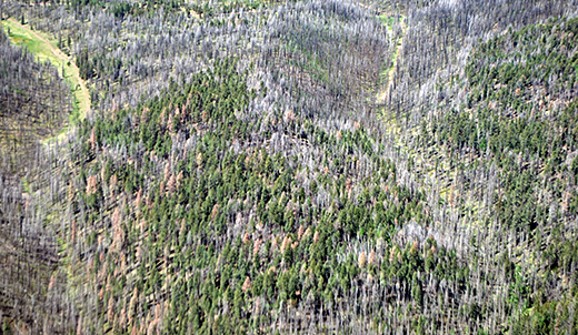 Aerial image of tree mortality in the White Mountains following the Wallow Fire