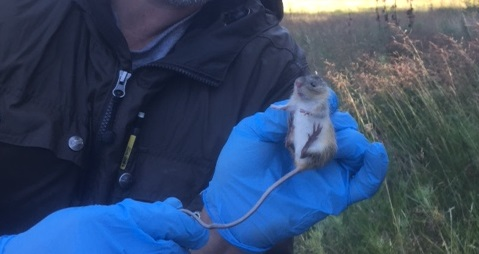 A New Mexico meadow jumping mouse captured within a livestock exclosure on the Lincoln NF (09/16)