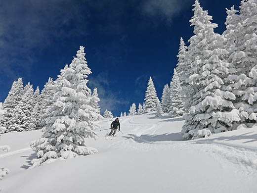 Skier between trees heavily laden with snow