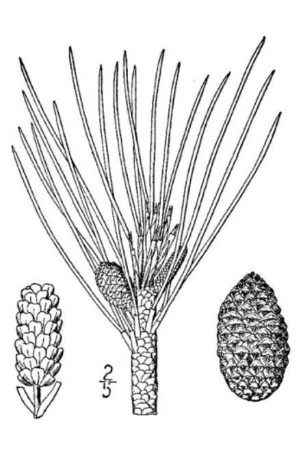 Drawing of a red pine for identification