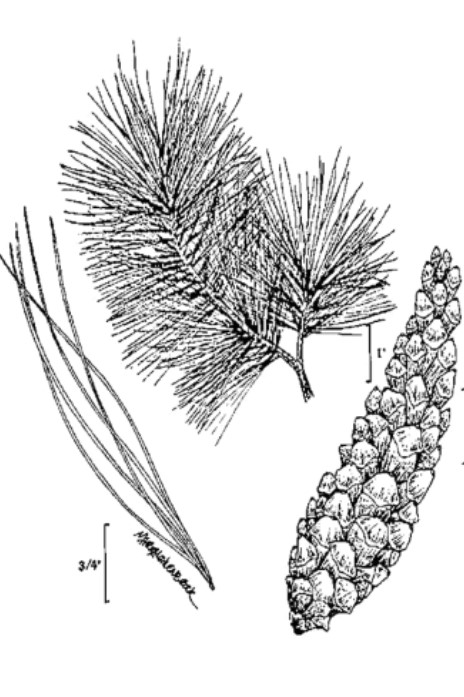 Drawing of a white pine for identification