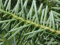 A balsam fir twig from below, showing the light colored 'racing stripes'.