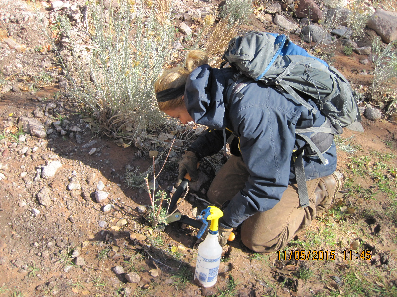 Youth Crews remove invasive tamarisk