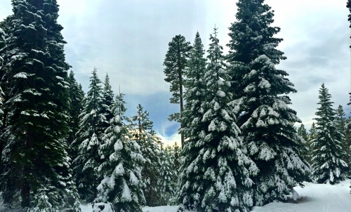 Trees and Snow