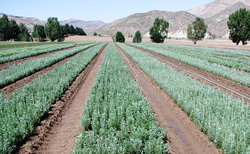 Photo of several rows of seedlings.
