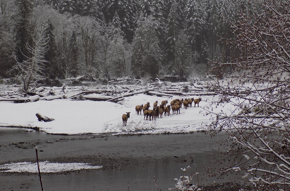 A herd of elk in the snow