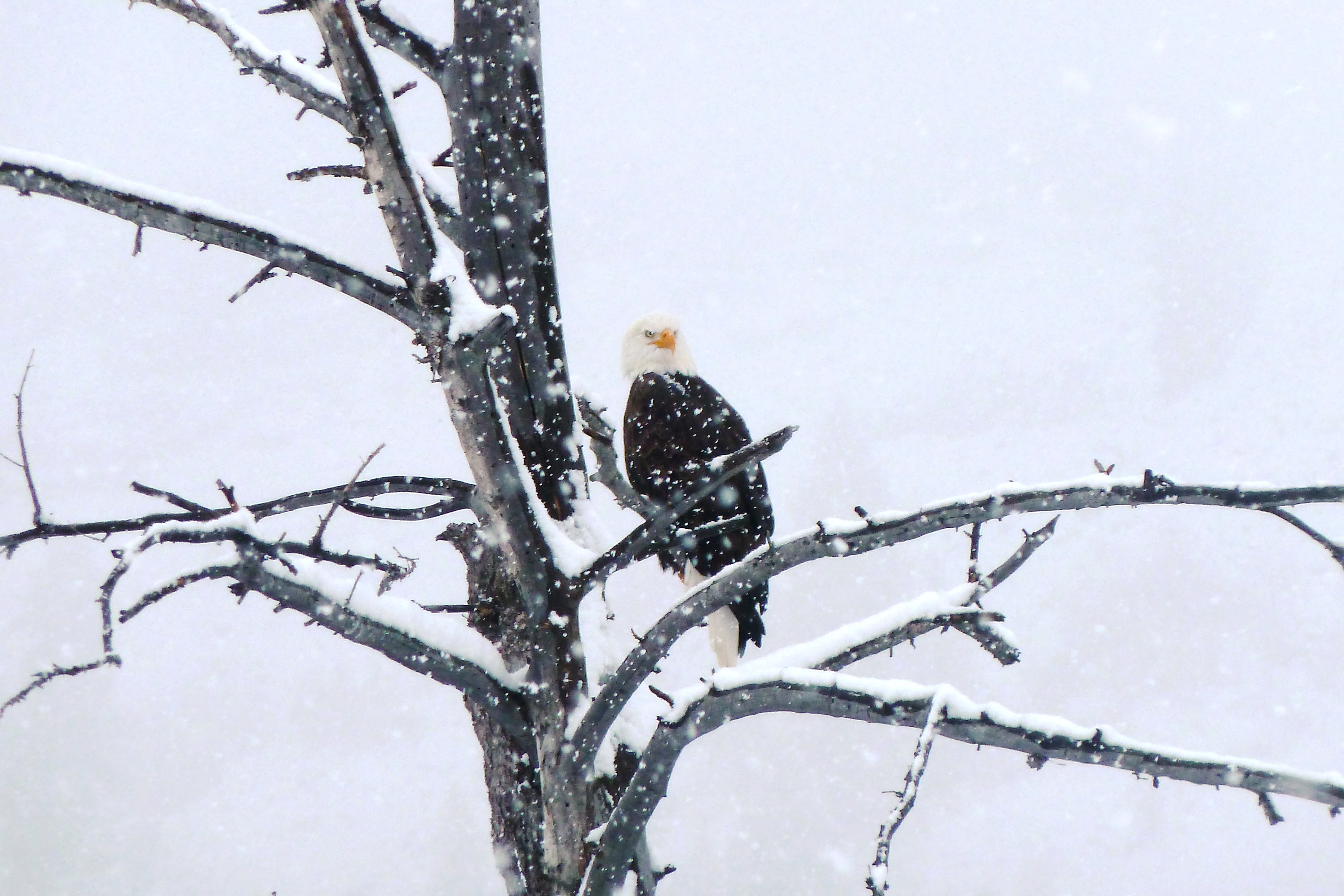 Photo of a Bald Eagle sitting on a branch in a snowstorm