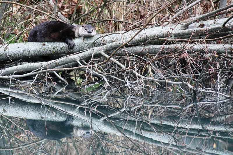 River Otter (Lontra canadensis).