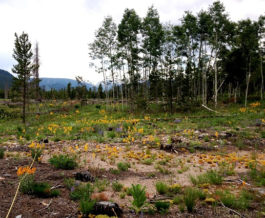 Wildflowers growing amongst stumps in timber harvest site