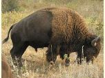 An American bison feeds among amber grasses.