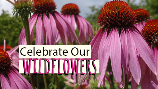 Celebrate our Wildflowers!