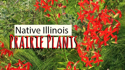 Native Illinois Prairie Plants