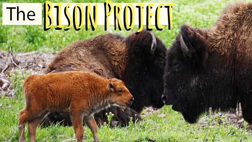 Bison of Midewin.