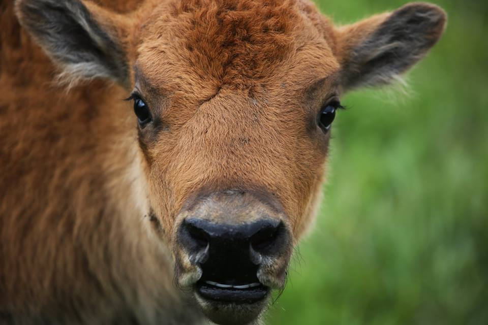 Close-up of a Bison