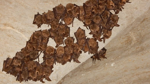 Photo of bats resting while hanging from a ceiling in a cave.