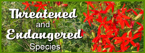 Endangered Species - Royal Catchfly