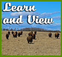 Bison Viewing and Learning Icon