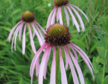 Aster - native seed production spotlight photo