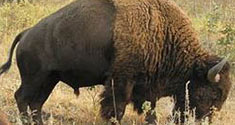 A bison roams the prairie.
